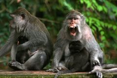 Der langschwänzige Makaken (Macaca fascicularis) Lizenzfreie Stockfotos