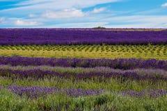 Der Lavendelbauernhof in der Sommerzeit stockfoto