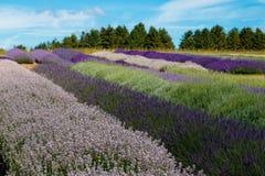 Der Lavendelbauernhof in der Sommerzeit lizenzfreies stockbild
