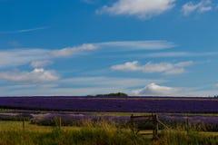 Der Lavendelbauernhof in der Sommerzeit stockbilder