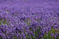 Der Lavendelbauernhof in der Sommerzeit lizenzfreie stockbilder