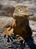 Der Leguan auf einer Lava Stockfotografie