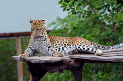 Der Leopard - die große Katze Stockfoto