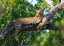 Der Leopard liegt auf einem großen Baumast Sri Lanka Lizenzfreies Stockfoto