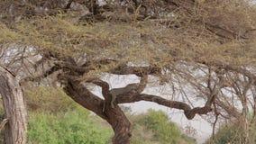 Der Leopard schläft auf einem Akazien-Baumast in der afrikanischen Savanne stock video