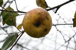 Der letzte Apfel Stockfotos