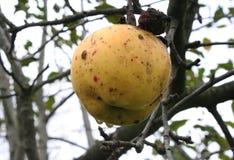 Der letzte Apfel Lizenzfreies Stockbild