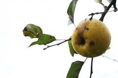 Der letzte Apfel Stockfotografie