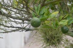 Der Limettenbaum Lizenzfreies Stockbild