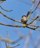 Der Long-tailed Tit auf einem Zweig Stockfotos