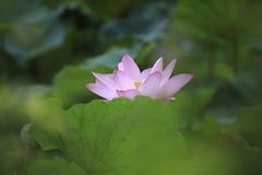 Der Lotos des Sommerblühens Stockbild