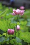 Der Lotos des Sommerblühens Stockfoto