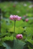 Der Lotos des Sommerblühens Stockbilder
