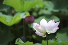 Der Lotos des Sommerblühens Lizenzfreies Stockfoto