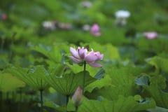 Der Lotos des Sommerblühens Lizenzfreie Stockfotos
