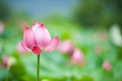 Der Lotos in voller Blüte Lizenzfreie Stockbilder