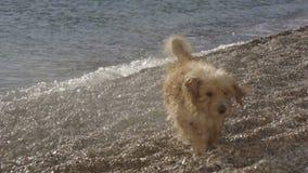 Der lustige Hund, der an den Wellen bellt und versucht, Wasser zu beißen, spritzt stock video