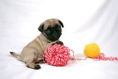 Der müde beige Welpe Mopsa sitzt, eine Tatze auf einen Ball von Threads setzend Stockfotografie