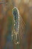 Der Maiskolben und die Spinne Stockfotografie