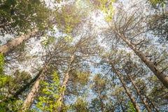 Der majestätische immergrüne Kiefernwald Lizenzfreie Stockfotografie