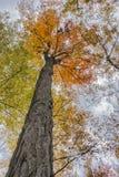Der majestätische orange Ahorn Stockbilder