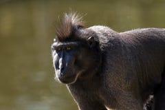 Der Makaken Celebes mit Haube Lizenzfreie Stockfotos