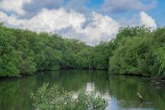 Der Mangrovenwald Stockbild