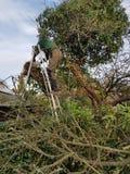 Der Mann, der Kettensäge auf Efeu verwendet, bedeckte Baum Stockfotos