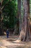 Der Mann, der nahe von der Kamera durch den hohen Feigenbaum in Angkor-Tempel geht Lizenzfreies Stockfoto