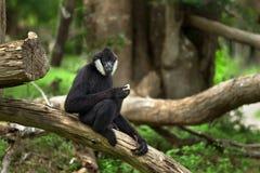 Der Mann des Affen Lizenzfreies Stockbild