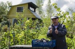 Der Mann ist mit der Ernte von Trauben sehr glücklich Stockfotografie