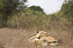 Der Mann mit zwei Löwen und die weibliche Liebkosung und umarmen sich lizenzfreie stockfotografie