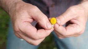 Der Mann schätzt auf einer Kamille auf Natur im Sommer stock video footage