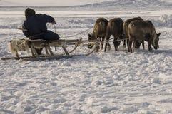 Der Mann sledging mit Rotwild in der schneebedeckten Feldbahn lizenzfreies stockfoto