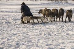 Der Mann sledging mit Rotwild in der schneebedeckten Feldbahn stockfotografie