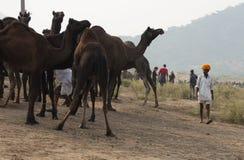 Der Mann und die Kamele Stockbilder