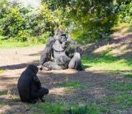 Der Mann und der weibliche Gorilla sitzen aus den Grund und den Rest an einem sonnigen Nachmittag Stockfotos