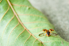 Der Marienkäfer, der wings geöffnet ist heraus Lizenzfreie Stockfotografie