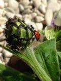 Der Marienkäfer und die Ameise Stockbilder