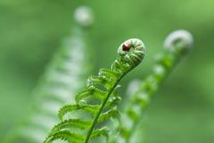 Der Marienkäfer versteckte sich in der Locke von Farnblättern lizenzfreies stockfoto