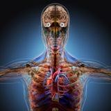 Der menschliche Körper durch Röntgenstrahlen auf blauem Hintergrund stock abbildung