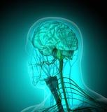 Der menschliche Körper (Organe) durch Röntgenstrahlen auf blauem Hintergrund lizenzfreies stockfoto