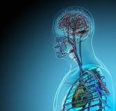 Der menschliche Körper (Organe) durch Röntgenstrahlen auf blauem Hintergrund stockbilder
