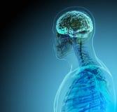 Der menschliche Körper (Organe) durch Röntgenstrahlen auf blauem Hintergrund stockbild
