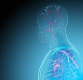 Der menschliche Körper (Organe) durch Röntgenstrahlen auf blauem Hintergrund stock abbildung