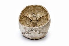 Der menschliche Schädel von der Rückseite lizenzfreies stockbild
