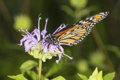 Der Monarchfalter, der auf Lavendelbienenbalsamblume nectaring ist, schließen an Lizenzfreie Stockbilder