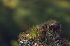Der Moskito saß auf dem Oberteil einer Schnecke, die morgens über den Wald des Mooses kriecht Lizenzfreies Stockbild