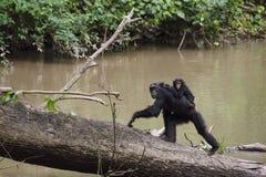 Der Mutter- und Babyaffe, der während des Schimpansetrekkings in Kyambura beschmutzt wird, sättigen sich Lizenzfreies Stockfoto
