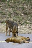 Der Mutterhund säubert den Welpen, der auf der Straße liegt stockfotografie